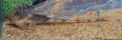 Loricaria sp. `RIO ORITUCO` - Click for species page