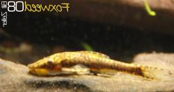Nannoptopoma spectabile - Click for species data page