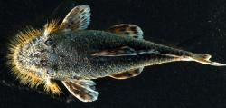 Neblinichthys echinasus - Click for species data page