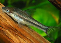 Otocinclus affinis - Click for species page