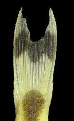 Otocinclus batmani