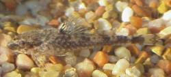 Otothyris travassosi - Click for species data page