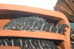 Panaqolus albivermis