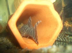 Panaqolus changae