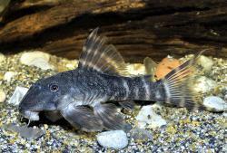 Panaqolus gnomus - Click for species data page