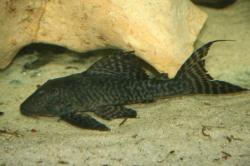 Panaqolus sp. `ACRE` - Click for species page