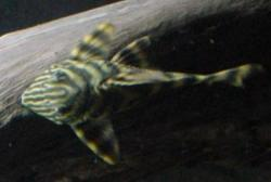 Panaqolus sp. (L002)