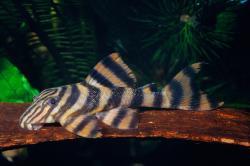 Panaqolus sp. (L169)