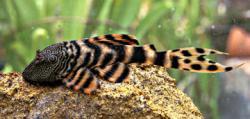 Panaqolus sp. (L206)