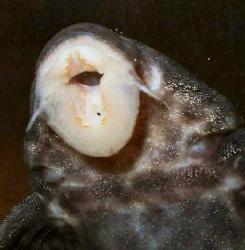 Panaqolus sp. (L351)