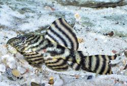 Panaqolus sp. (L374) - Click for species page