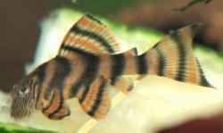 Panaqolus sp. (L397)