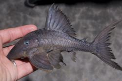 Panaque cochliodon - Click for species page