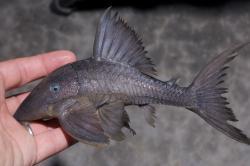 Panaque cochliodon - Click for species page