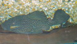 Panaque nigrolineatus