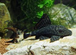 Panaque schaeferi - Click for species page