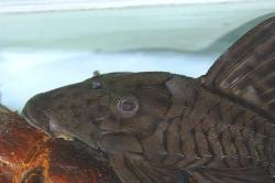 Panaque schaeferi