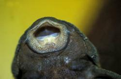 Parancistrus aurantiacus