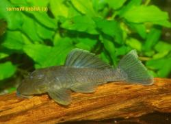 Parancistrus sp. (L332) - Click for species data page