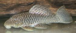Parancistrus sp. (LDA046)