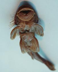 Pareiorhaphis mutuca