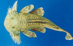 Pareiorhaphis steindachneri - Click for species data page