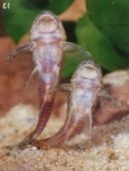 Parotocinclus cf. cesarpintoi