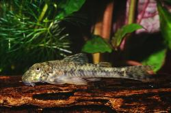 Parotocinclus jumbo - Click for species data page