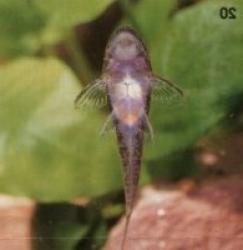 Parotocinclus sp. (2)