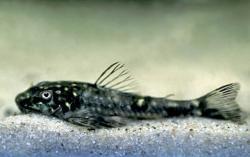 Parotocinclus spilosoma