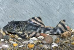 Peckoltia brevis - Click for species data page
