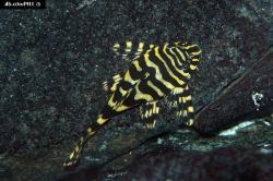 Peckoltia compta