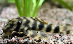 Peckoltia multispinis - Click for species data page