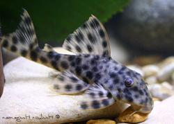 Peckoltia oligospila - Click for species page