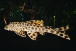 Peckoltia sabaji - Click for species data page