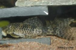 Peckoltia sp. (L055) - Click for species data page