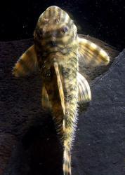 Peckoltia sp. (L080)