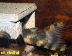 Peckoltia sp. (L205)
