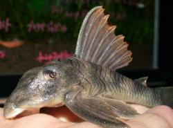 Peckoltia sp. (L265)