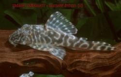 Peckoltia sp. (L377)