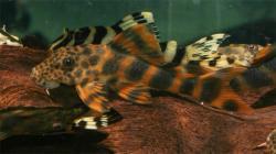 Peckoltia sp. (L387)