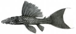 Pseudacanthicus fordii - Click for species page