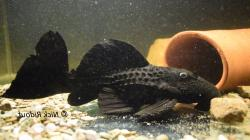 Pseudacanthicus serratus - Click for species page