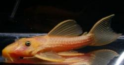 Pseudacanthicus sp. (2) - Click for species page