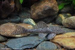 Pseudacanthicus sp. (L079) - Click for species page