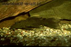 Pseudacanthicus sp. (L179) - Click for species page