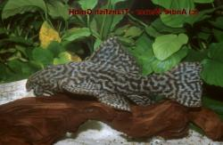 Pseudacanthicus sp. (L380) - Click for species page