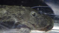 Pseudacanthicus sp. (L406)