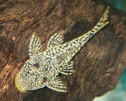 Pseudancistrus sp. (2)