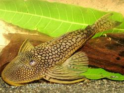 Pseudancistrus sp. (L440) - Click for species data page
